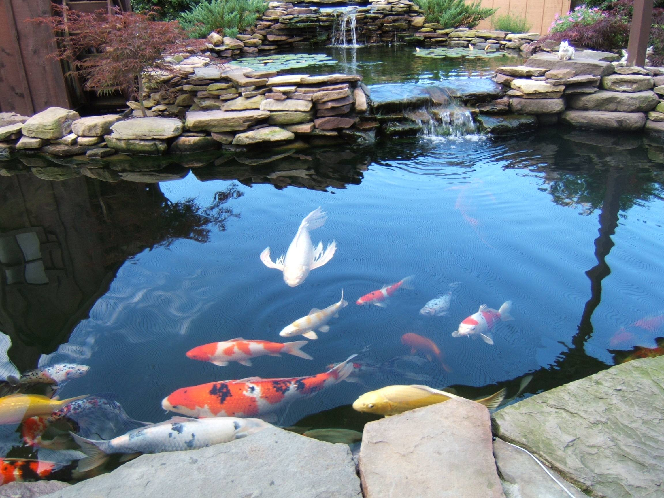 koi pond care for the summer nualgi ponds