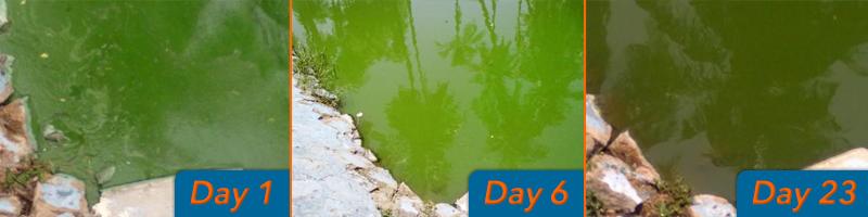 how to reduce pond algae