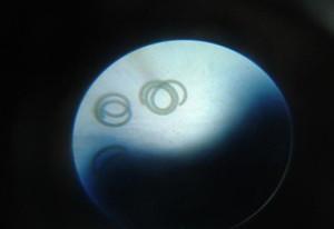 spirulina-sp