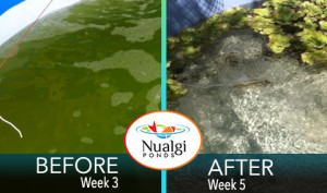 algae removed from pond quickly without algaecide
