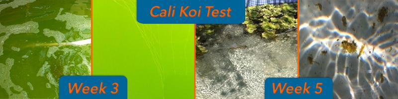 remove algae from pond