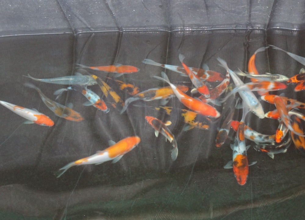 Aquaculture water chemistry and japanese koi fish breeding for Small coy fish