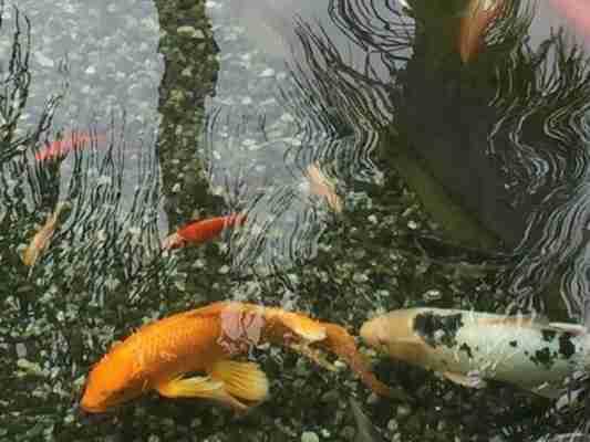 Dave A Inherited Koi Pond Nualgi Ponds