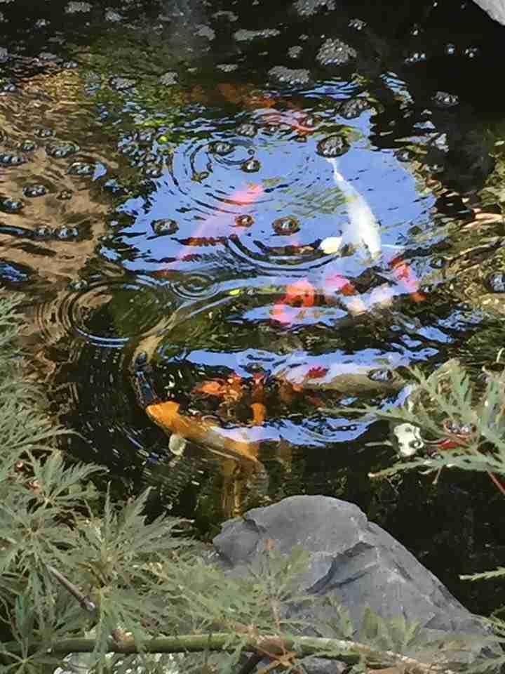 Thomas p vibrant plants in koi water garden nualgi ponds for Koi fish pond plants