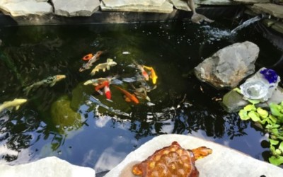 Thomas P. – Vibrant Plants In Koi Water Garden