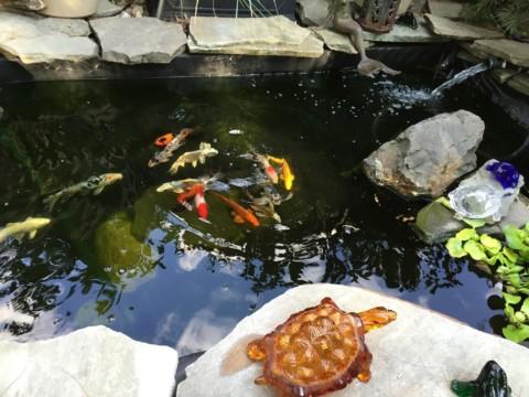 clear pond koi fish