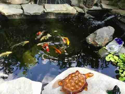 Thomas p vibrant plants in koi water garden nualgi ponds for Koi and water garden