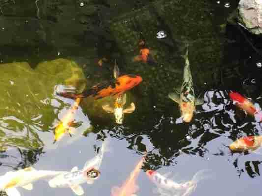Thomas P Vibrant Plants In Koi Water Garden Nualgi Ponds