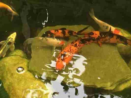 clear pond koi fish 4