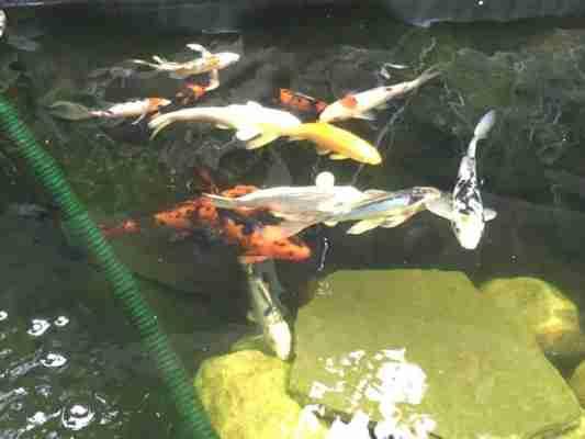 clear pond koi fish 5