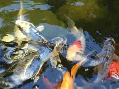 clear pond koi fish 6