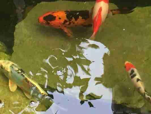 clear pond koi fish 7