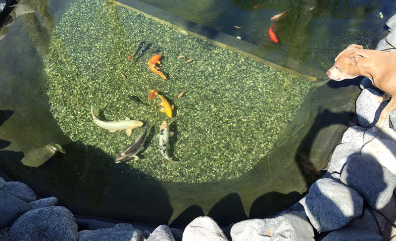 Is a uv pond filter the best choice for my pond for How to make koi pond water clear