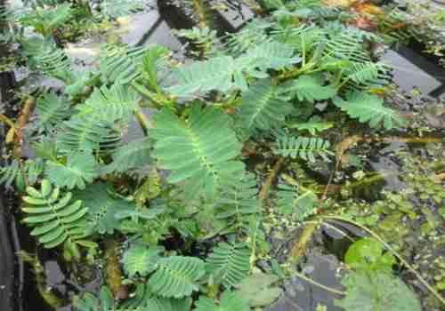 giant-sensitive-top-pond-plant