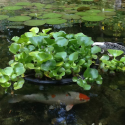 Pond Plants To Control Algae Balance