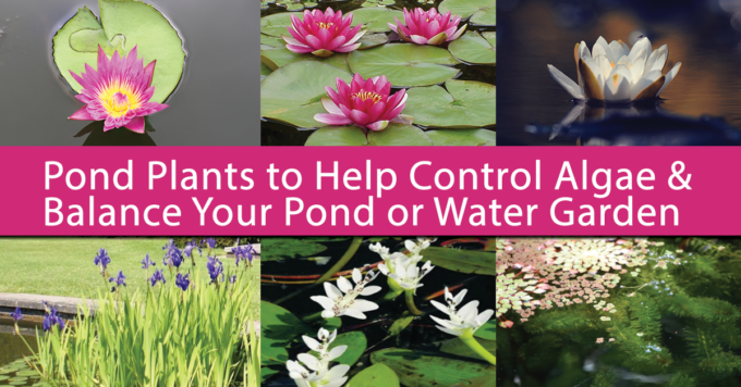 Guide to Pond Plants that Help Control Algae
