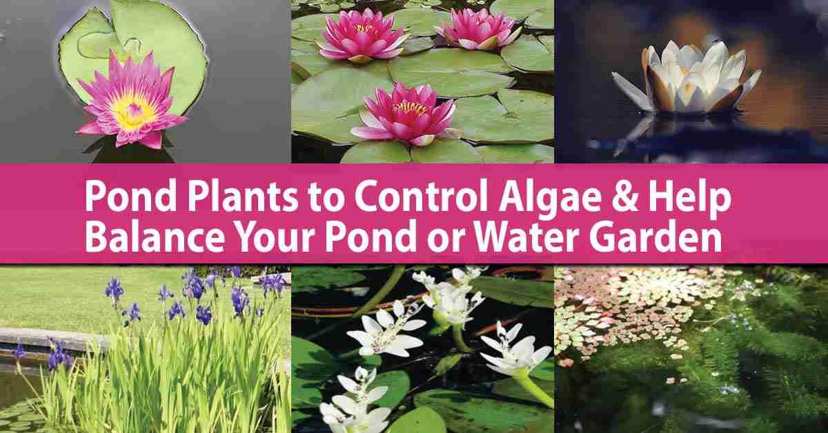 Pond Plants To Control Algae Balance Your Water Garden