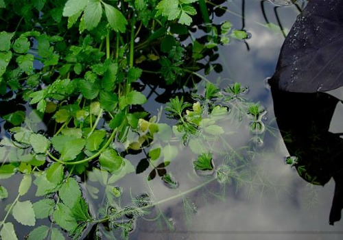 water-celery-good-plant-for-pond
