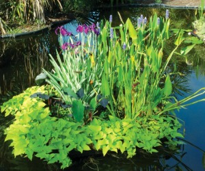 Pond Plants that Benefit your Water Garden