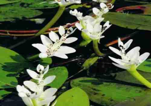 water-hawthorn-good-pond-plant