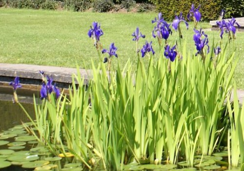 Pond plants to control algae balance your water garden for Water filtering plants for ponds
