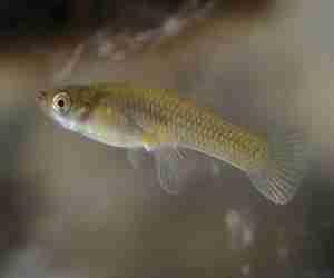 mosquito-fish