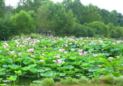 Pond plants to control algae balance your water garden for Pond friendly plants