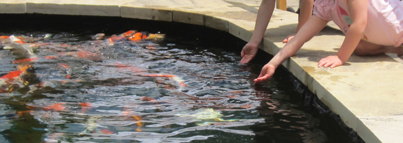 how do I get my Koi fish to swim up to me AND eat from my hands