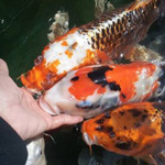 Koi Fish Happiness 101: Developing a Hand-Feeding Friendship
