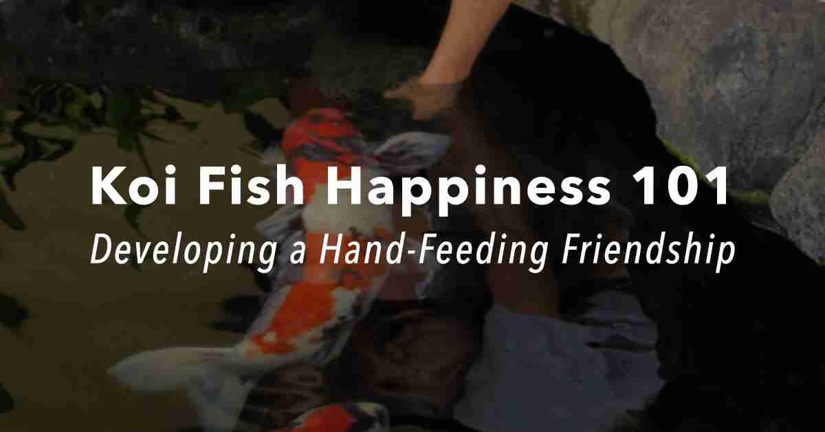 Koi Fish Happiness 101: Developing a Hand-Feeding Friendship