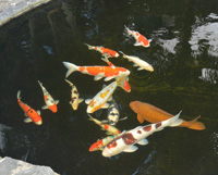 koi fish are intelligent