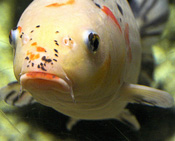image of koi fish looking sad