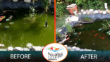 Marie Ann's green pond before and CLEAR pond after Nualgi Ponds