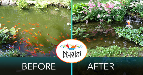 Jim D.'s green pond before and after using Nualgi Ponds