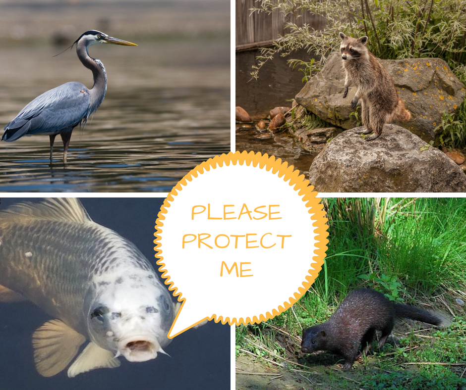 Protect Your Fish from Pond Predators - Nualgi Ponds