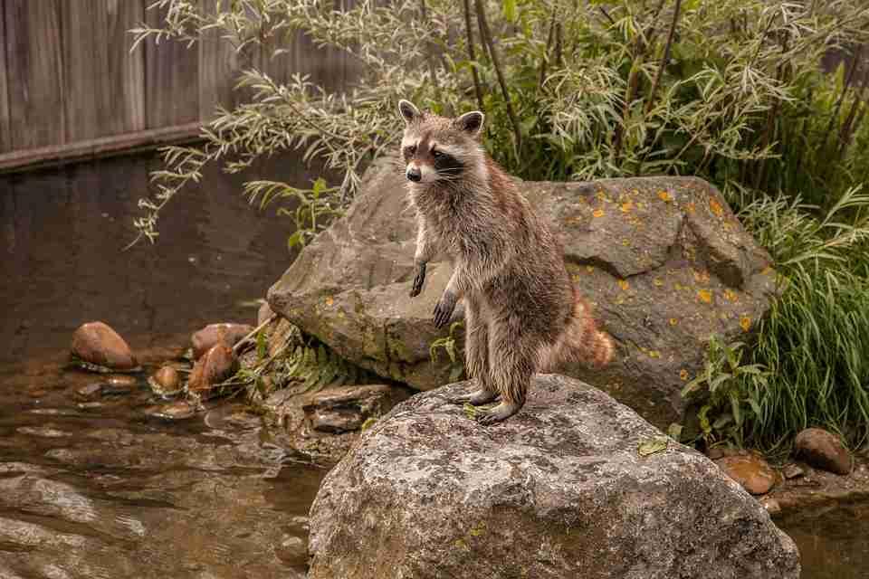 raccoon-in-pond