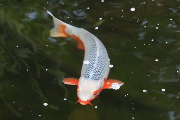 Koi are our favorite algae eating fish but not the most voracious algae eaters