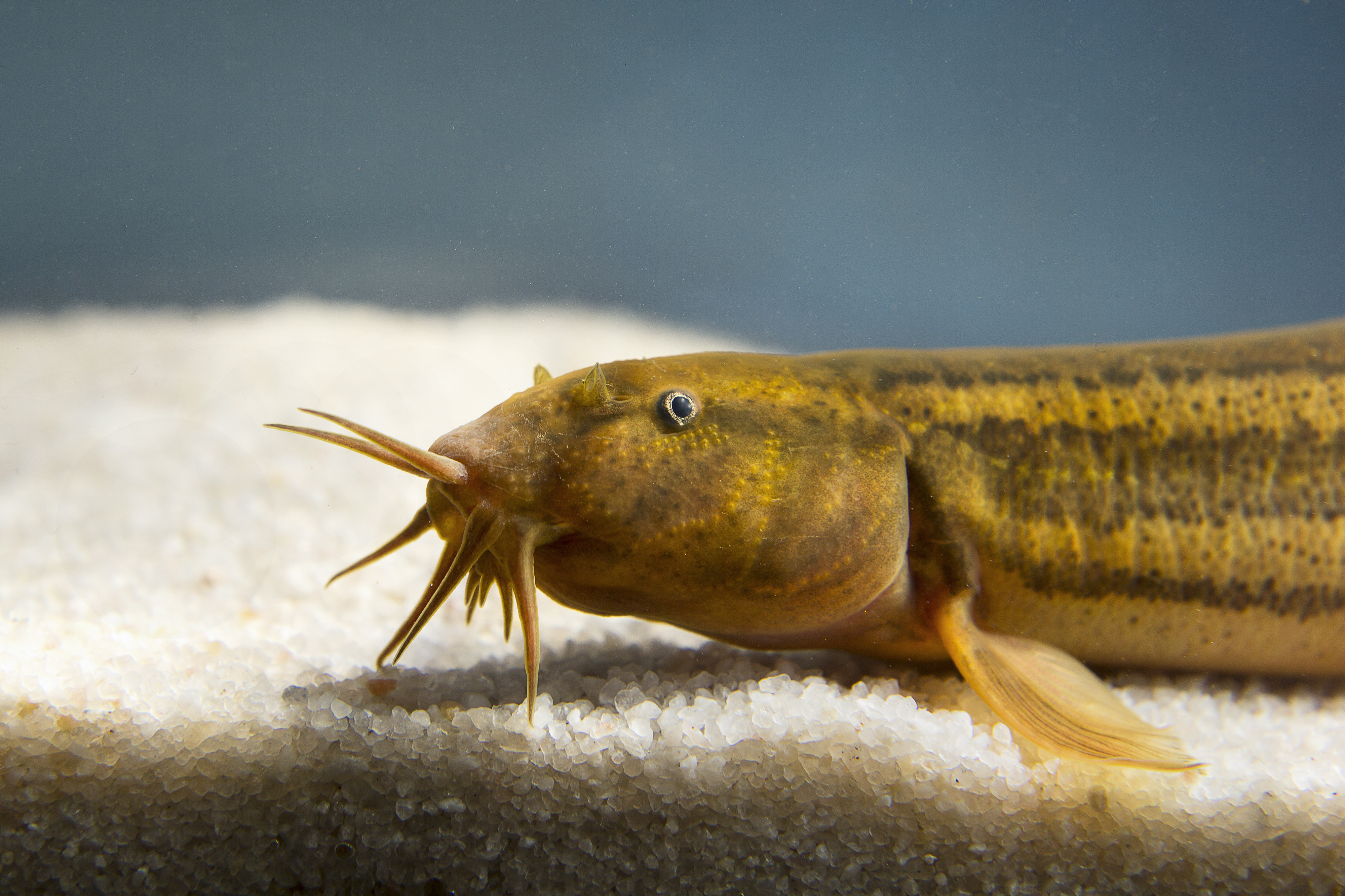 Pond loach aka Weather loach (Misgurnus fossilis)