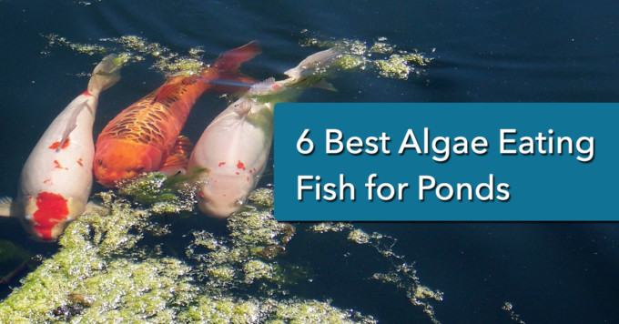 6 best algae eating fish for ponds - Header Image