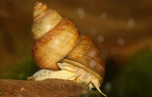 Japanese Trapdoor Snail - Pond snail for eating algae