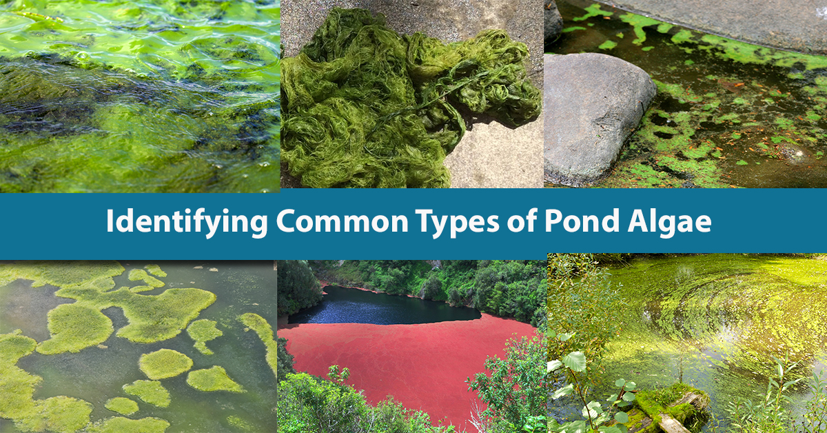 Variation of common types of algae