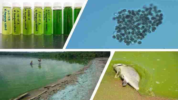 Harmful Algal Blooms and Cyanobacteria Research